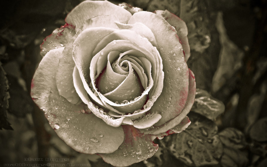 Gothic Blood Rose